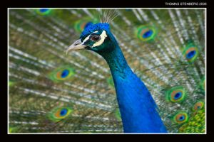 Pavo cristatus by tomba76