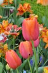 Pretty Tulips by Sterre-Sasje