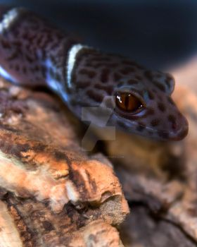 Chinese Cave Gecko On Corkbark - 2396 by creative1978