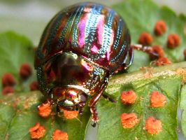 Chrysolina americana 23 by iriscup