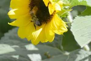 Sunflowers Are Buzzing, Together 3 by Miss-Tbones