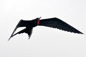Frigate bird in flight 1 - Galapagos by wildplaces