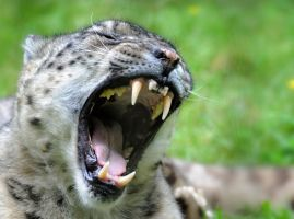 The Powerful Snow Leopard by Manu34