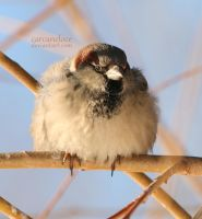 House Sparrow by Carcaneloce