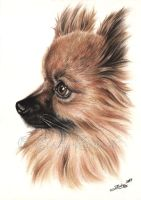 Pomeranian Portrait by Zindy