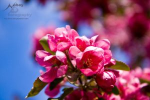 Crab Apple Flowers 2 by Nebey