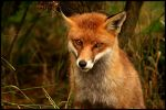 Red fox by BlackIce-Wolf