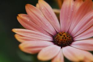 Pink Daisy in the Almost Rain by Lydia-distracted