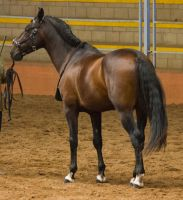 STOCK - 2014 Andalusian Nationals-133 by fillyrox