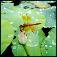 Dragonfly on Little Lotus by WillTC