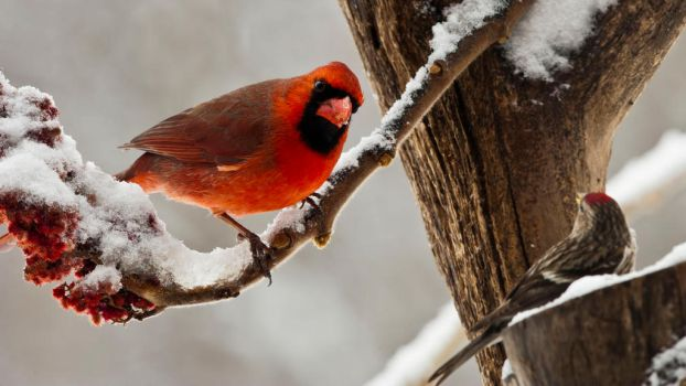 Cardinal and Redpoll by MichelLalonde