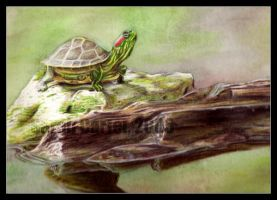 Turtle by sarahcarter