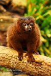 Red Bellied Lemur by Shadow-and-Flame-86