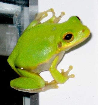 Frog by CriticalPhotography