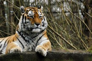Amur Tiger by KattFloka