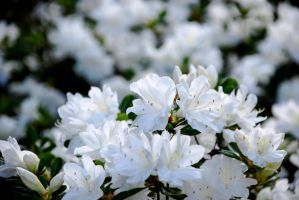 White Flowers by rhyno214