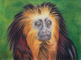 Golden lion tamarin by Sarahharas07