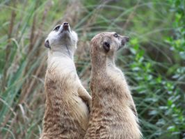 Meerkats at Animal Kingdom by Dream-finder