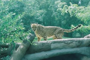 Cheeta 1 by skalin