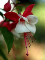 Fuchsia Plant 17318610 by StockProject1