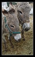 Donkeys again. by jennystokes