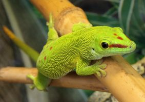 Phelsuma madagascariensis by RemiNogitsune