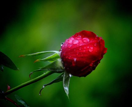 Rose bud after the rain by Tailgun2009