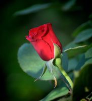 Morning Rose 4-7-12 by Tailgun2009