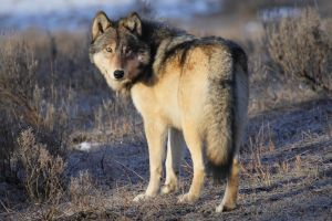 Grey Wolf of Yellowstone by Iamidaho