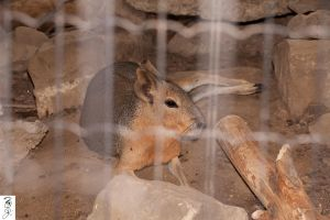 Patagonian Mara by The-Dude-L-Bug