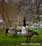 Geese in Ohio by coffeenoir