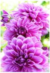 Dahlias from My Garden by theresahelmer