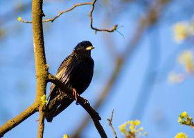 Starling by fot-ciosek