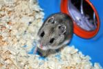 Kato, Chinese Dwarf Hamster I by ImLookingForTime