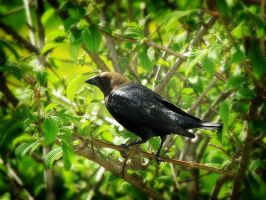 Cowbird by S-H-Photography