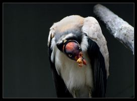 King Vulture II by oOBrieOo