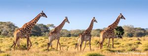 A Journey of Giraffes by Okavanga