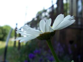.Daisy, Daisy. by WithoutName