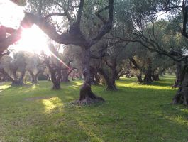 Old Olive Trees (4) by Torhval