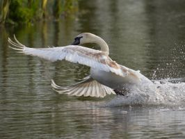 Swans 2014 5 6 by melrissbrook