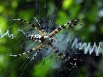 Yellow Garden Orbweaver 1 by Insane-Pencil