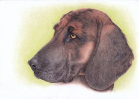 Bavarian Mountain Hound by Kwazar