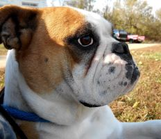 Amelia Rose by NobleBulldogges