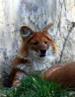 Animals - Dhole 1 by MoonsongStock