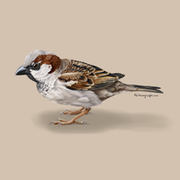 Male House Sparrow - Passer domesticus by Alithographica