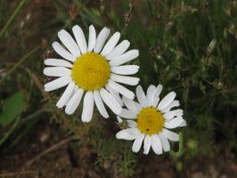 Stock: Camomiles by Think-Outside-Of-Box