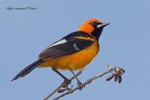 Looking 'Dapper' - Spot-breasted Oriole by Jamie-MacArthur