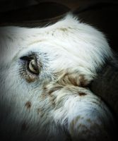 Goat eye by irinashouk
