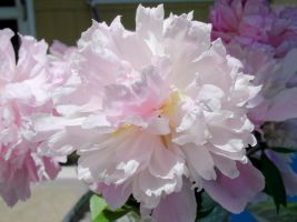 Peonies Stock 10 by Retoucher07030
