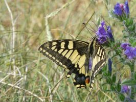 Old World Swallowtail by Clawfiren